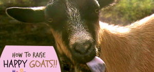 How to Raise Happy Goats